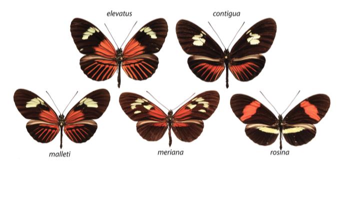 Figure 2 : Exemples des principaux pattern Dennis-Ray de l'étude - H. e. pseudocupidineus et H. m. malleti (Dennis-Ray), H. m. meriana (Dennis), H. t. timareta f. contigua (Ray) et H. m. rosina (autre) (Source : Wallbank et al., 2016)