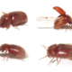 Scarabiasis : des coléos coliques…