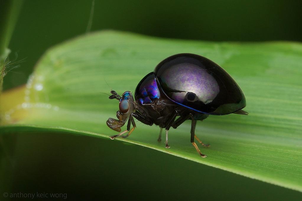 Diptera Celyphidae: when flies mimic Beetles