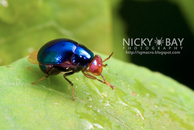 Celyphidae (non déterminé) (Source : Nicky Bay-Flickr)