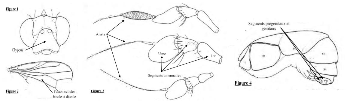 Principaux caractères morphologiques des mouches Celyphidae (Source : Tenorio 1972 - modifié par Benoît GILLES)