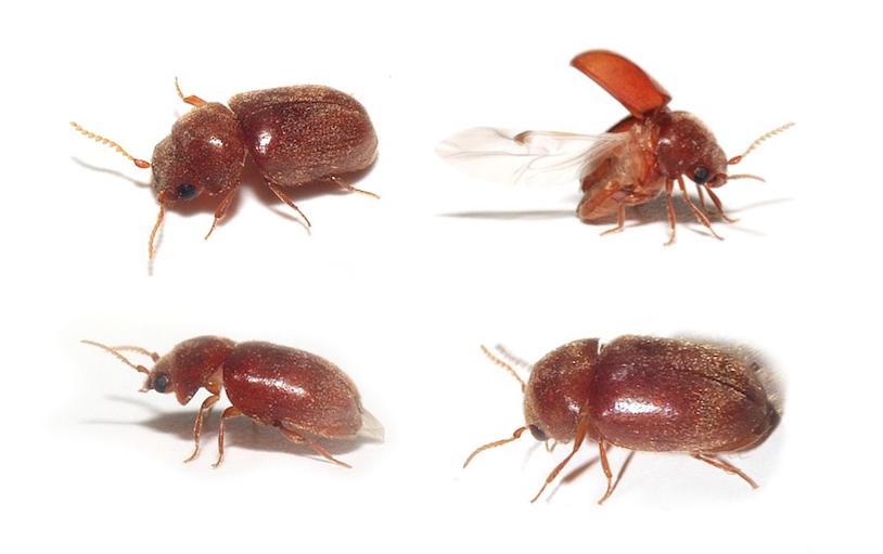 Scarabiasis : des coléos coliques... - Passion Entomologie