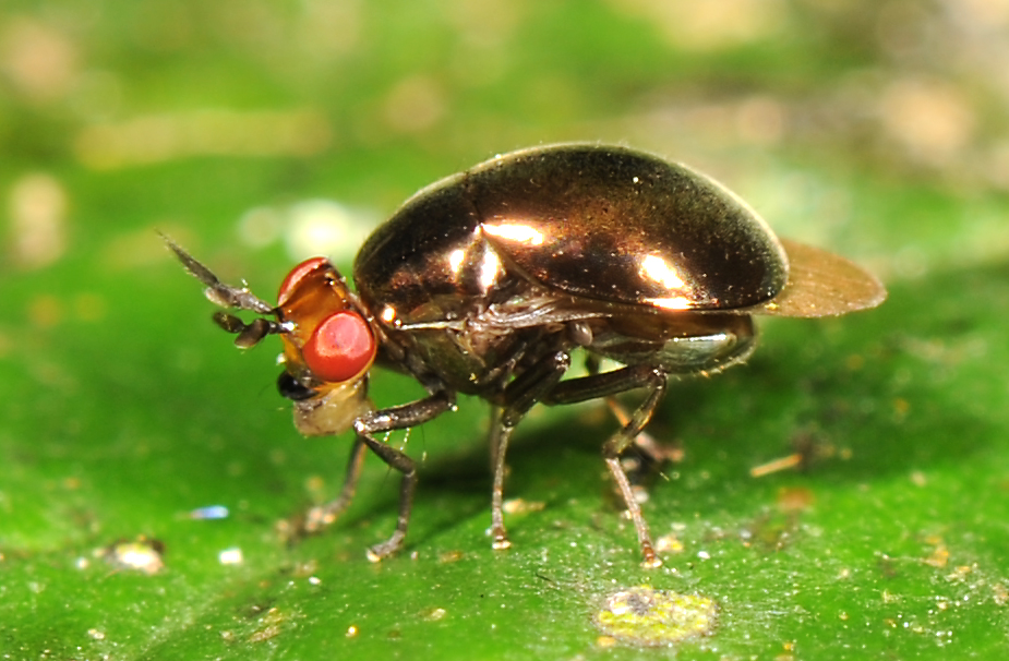 Genre Spaniocelyphus - Cuc Phuong National Park VIETNAM (Source : Stephen gaimari)