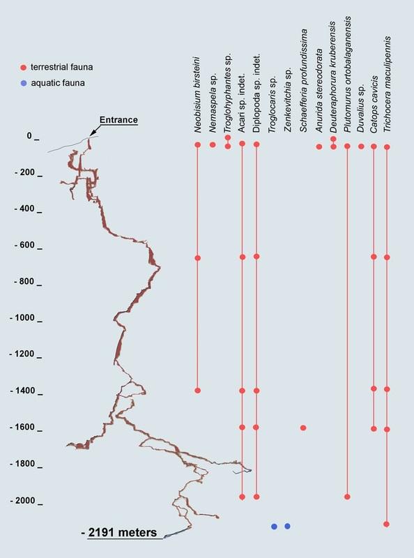 Distribution verticale de la faune de la grotte Krubera-Voronja (Source : Reboleira)