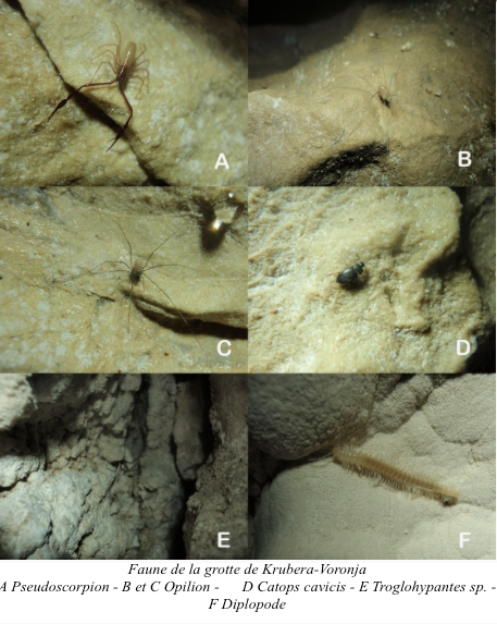 Faune de la grotte de Krubera-Voronja - A Pseudoscorpion - B et C Opilion - D Catops cavicis - E Troglohypantes sp. - F Diplopode (Source : Reboleira)