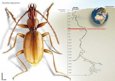 Duvalius abyssimus: a beetle of the depths