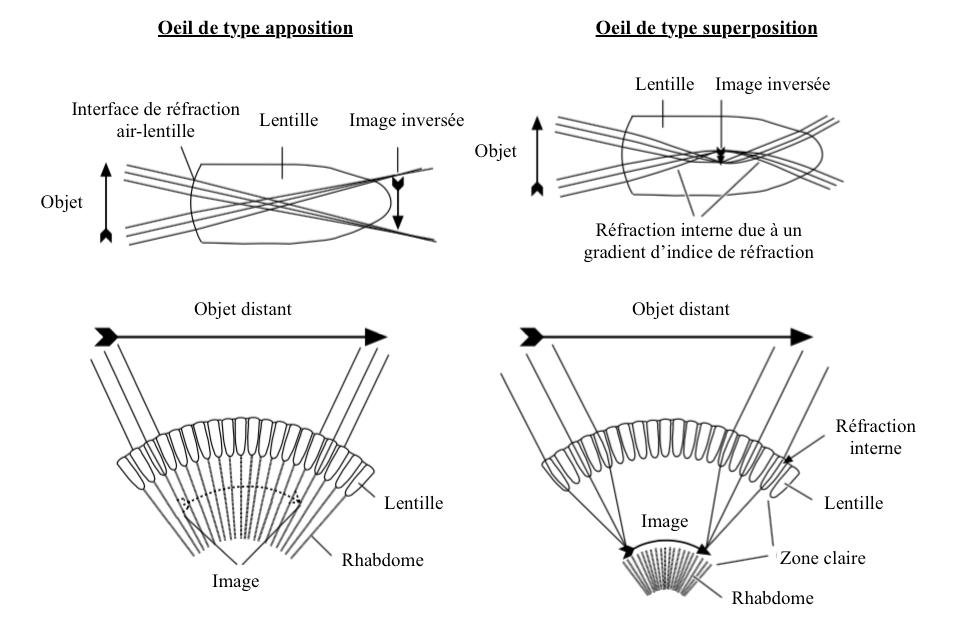 Formation de l'image : a) dans un oeil composé de type apposition, la lentille formant une image inversée de l'objet, b) dans un oeil composé de type superposition, les rayons lumineux sont réfractés à l'intérieur de la lentille