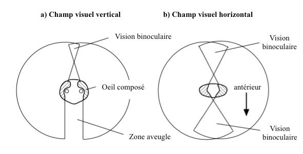 Figure 5 : Champ visuel de la blatte Periplaneta - a) dans le plan vertical - b) dans le plan horizontal - Seule une zone aveugle est présente en dessous de la tête
