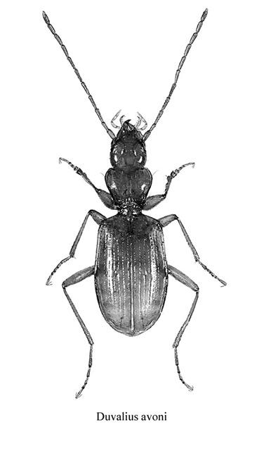 Duvalius avoni - Espèce cavernicole (Coleoptera - Carabidae) (Source : Christophe Avon)