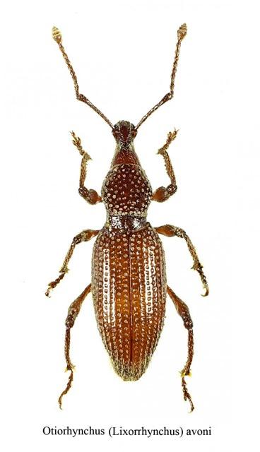 Otiorhynchus avoni (Coleoptera - Cucurlionidae) (Source : Christophe avon)