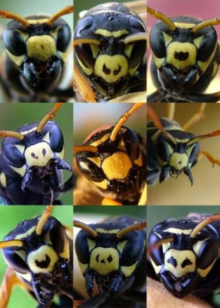 Figure : Facial variation within a colony of Polistes dominulus