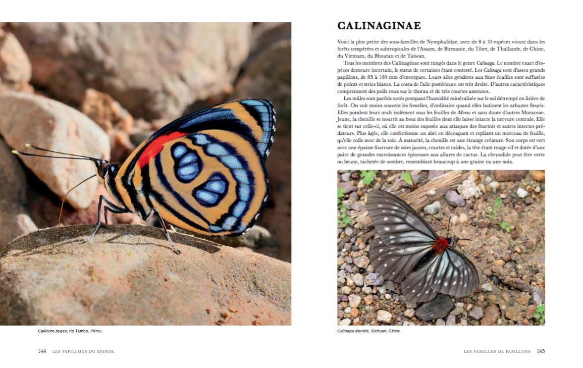 Extrait : Papillons du monde - Adrian Hoskins (Delachaux et Niestlé - juin 2016)