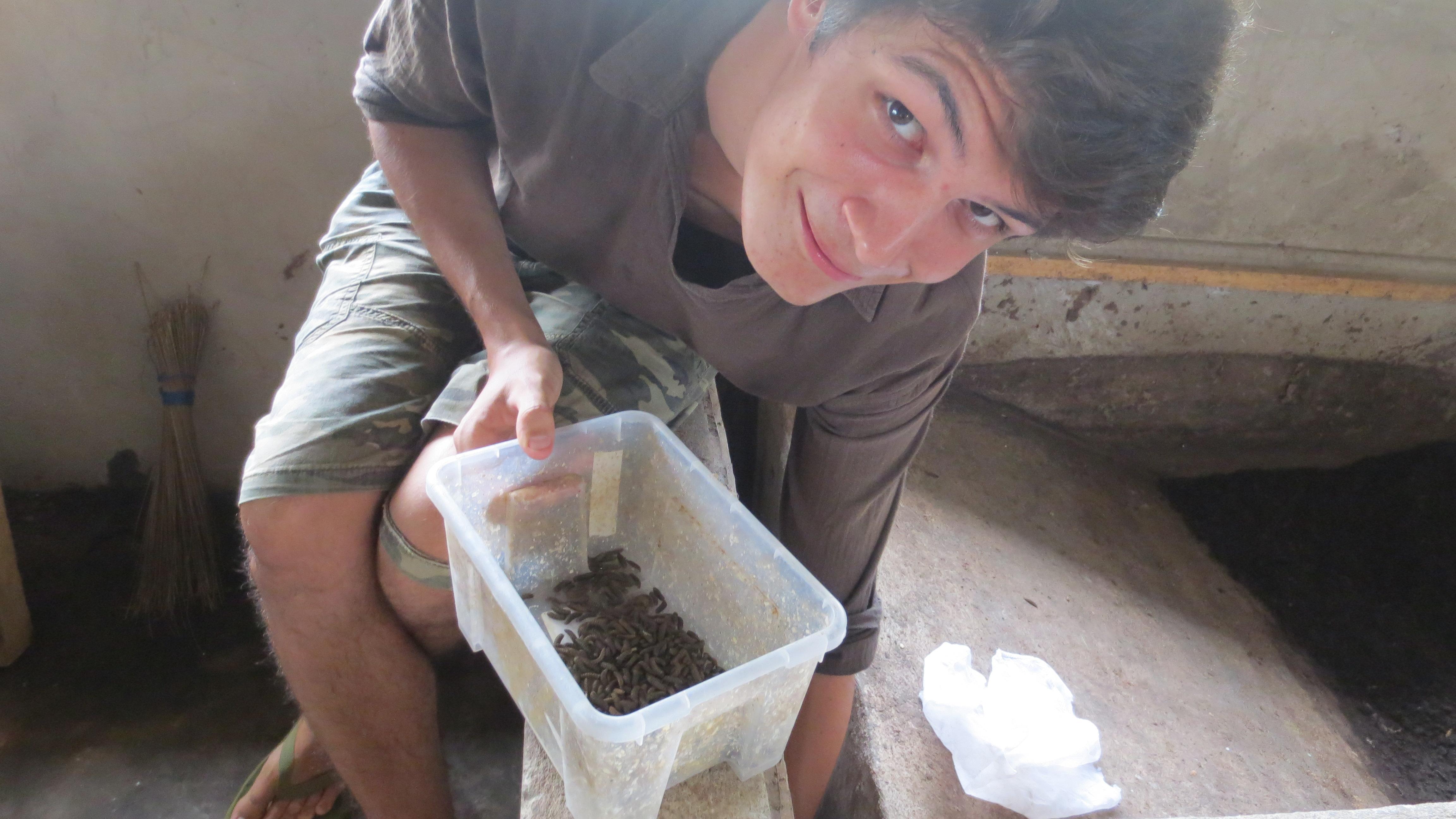 Au Ghana, récolte de pré-pupes de Hermetia illucens (Source : Marine Popoff)