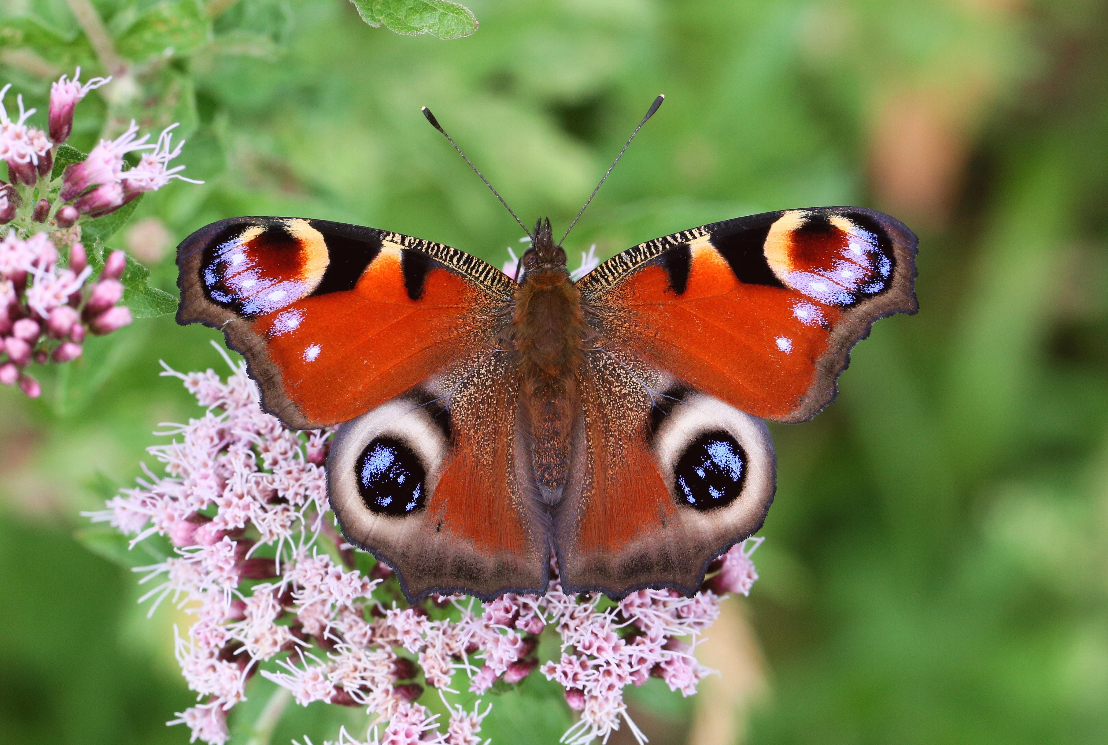 """Paon de jour (Inachis io) : le """"Peacock"""", une vanesse emblématique au Royaume-uni (Source : A. Hoskins)"""