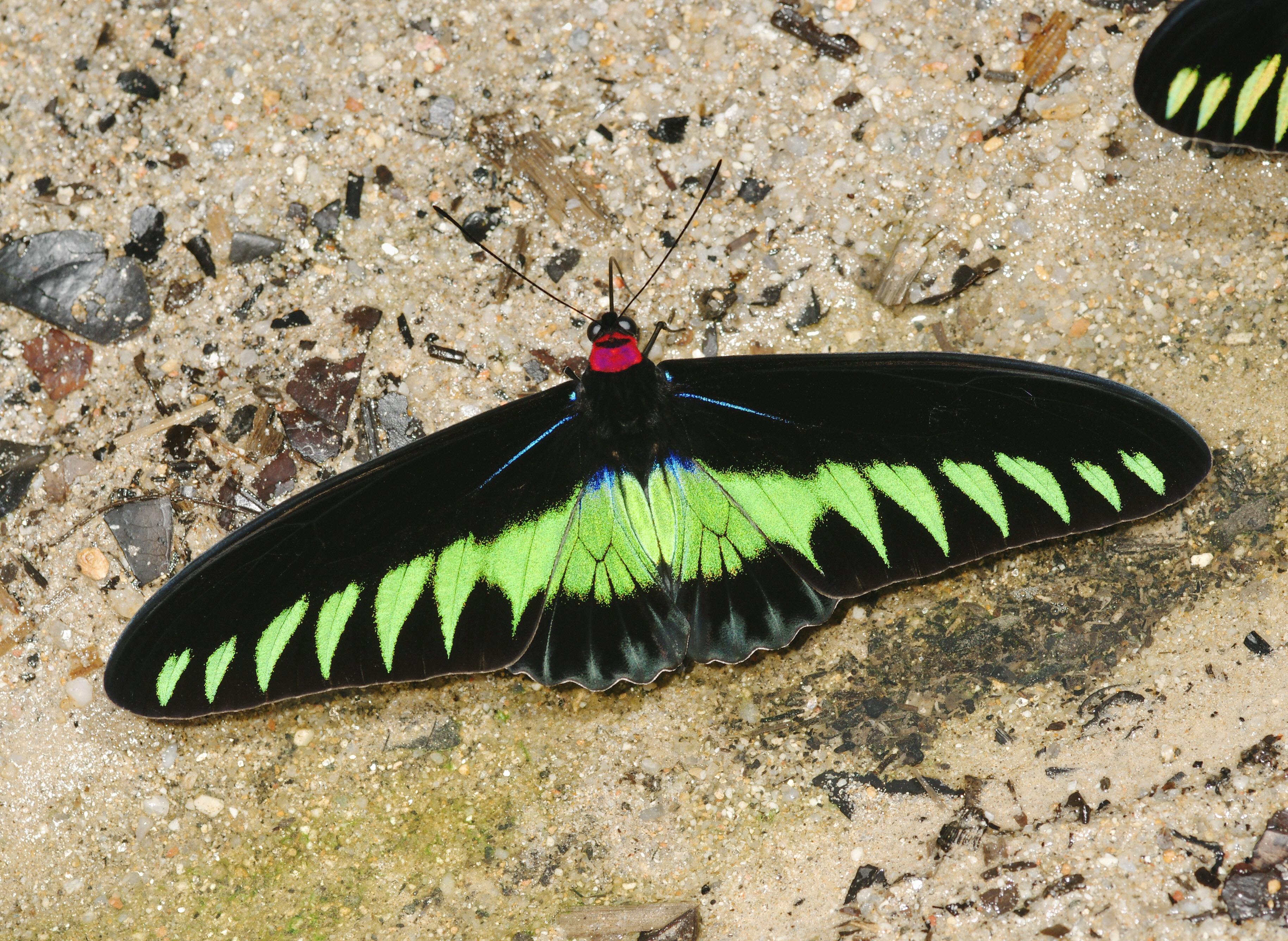 Une icône de la péninsule malaisienne : Trogonoptera brookiana (ici un mâle) (Source : A. Hoskins)