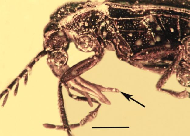 Pollinies appartenant au genre Annulites attachées aux pièces buccales du coléoptère Ptilodactylidae (Source : Poinar, 2016)
