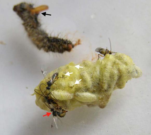 Emergence d'une nouvelle génération de C. glomerata adultes. Notez les restes desséchés de la chenille sur laquelle on distingue les restes d'une larve de parasitoïde qui n'a pas achevé sa sortie de l'hôte (flèche noire), les orifices de sortie des adultes de C. glomerata dans l'amas soyeux des cocons protégés (flèches blanches), et l'accouplement du parasitoïde qui a eu lieu immédiatement après l'émergence (flèche rouge) (Source : Hélène Dumas)