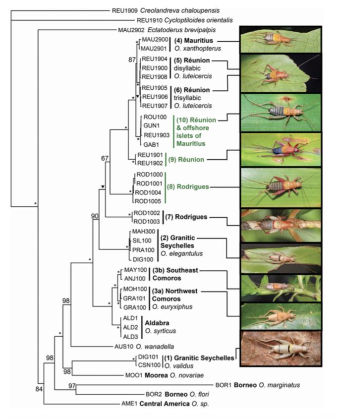 Arbre phylogénétique du genre Ornebius réalisé à partir de l'analyse d'ADN mitochondriaux (Source : Warren et al, 2016)