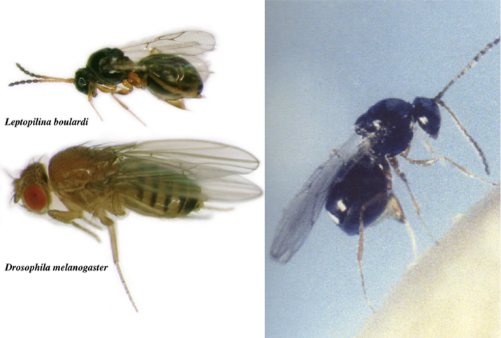 d-melongaster-parasitoide