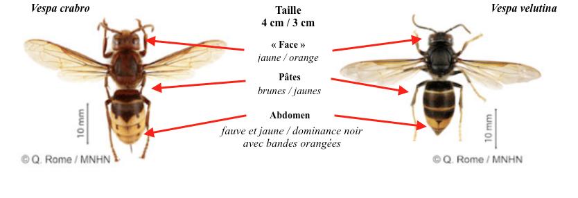 Principales caractéristiques morphologiques des espèces Vespa crabro et V. velutina (Source : )