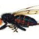 Thyreophora cynophila : the unlikely return of the orange-headed fly!