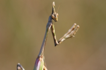 The Mantodea: synthesis on these insects