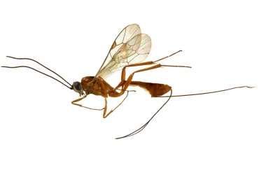The ovipositor of parasitoid hymenoptera: how micro-surgery is inspired by nature's inventions