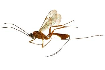 L'ovipositeur des hyménoptères parasitoïdes : comment la micro-chirurgie s'inspire des inventions de la nature