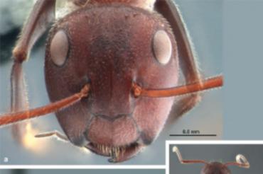 Colobopsis explodens: a detonating ant!!