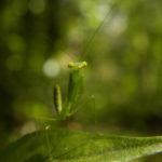 Mantidae juvénile - Guyane française