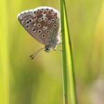Polyommatus sp. (Lepidoptera) - France