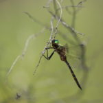 Somatochlora flavomaculata (Odonata) - France