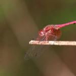 Odonata (non déterminée) - Makay - Madagascar
