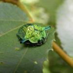 Omocerus casta (Chrysomelidae-Cassidinae) - Panama