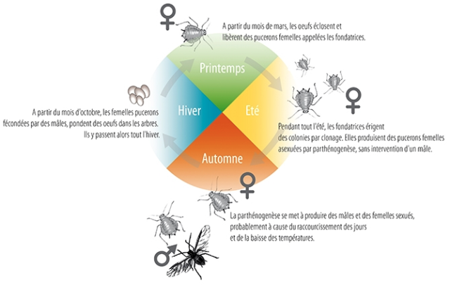 Parthenogenesis in insects: synthesis - Passion Entomologie