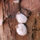 Scale insects: Poorly-know vectors of plant virus