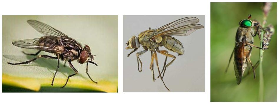 Les Stomoxes : des mouches piqueuses nuisibles pour l'élevage
