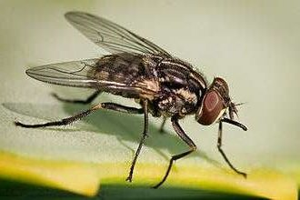 Stomoxes: biting flies harmful to breeding