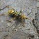 Xylotrechus chinensis : nouvelle espèce invasive arrivée d'Asie
