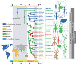 Evolutionary history of phasms and phyllies