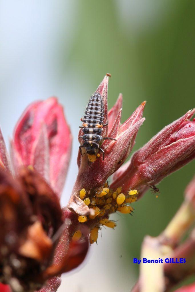 Larve de coccinelle se nourrissant de pucerons (Coccinellidae - Coleoptera)