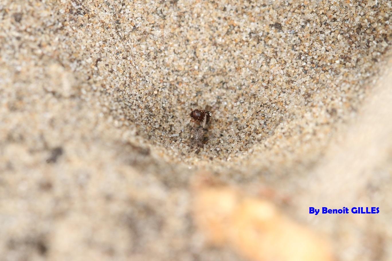 Larve de fourmilion ayant capturé un petit coléoptère (Nevroptera)