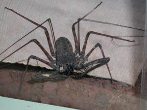 Des amblypyges nouvelles dans l'Île de La Réunion
