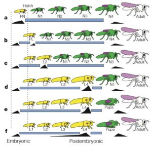 Origine de la métamorphose chez les insectes