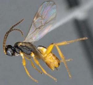 Cotesia typhae, une nouvelle espèce prometteuse pour la lutte biologique 2/2