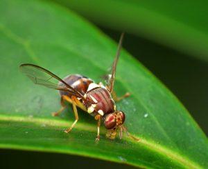 Les mouches Tephritidae reconnaissent leur prédateurs avec l'odorat puis adaptent leur comportement de fuite