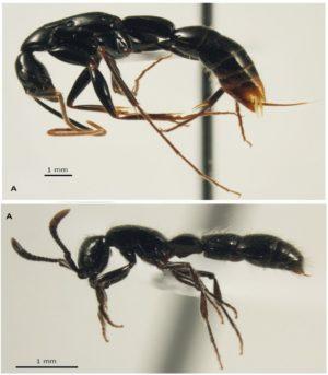 A propos de la découverte de deux espèces nouvelles de fourmis en Nouvelle-Calédonie