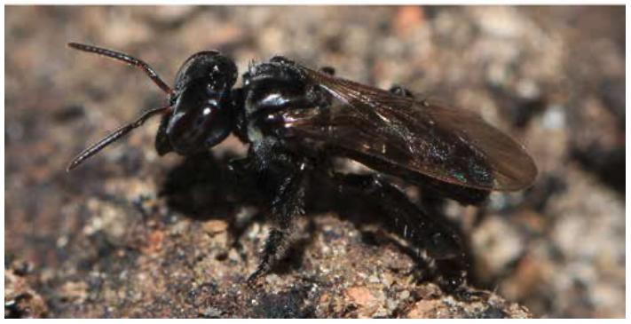 Trigona hypogea : du miel à partir de cadavres d'animaux !