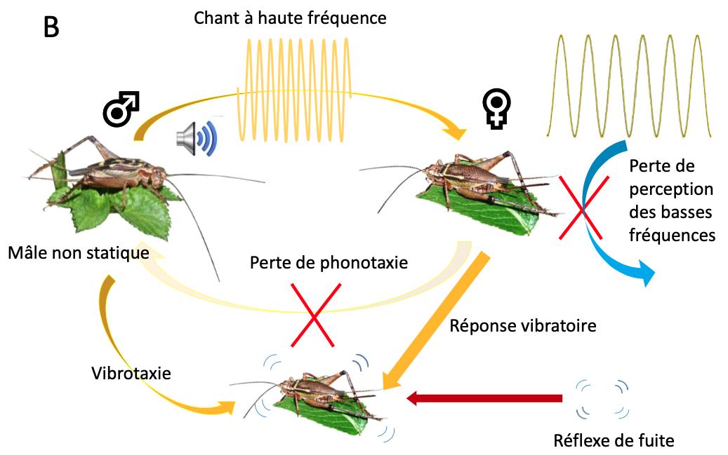 Les grillons Eneopterinae : un groupe modèle pour étudier l'évolution et la communication