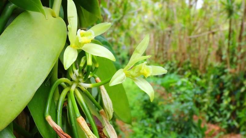 Vanille : prédation et agro-écologie à Madagascar